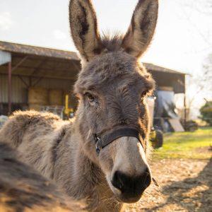 L'âne du Bourg Joly