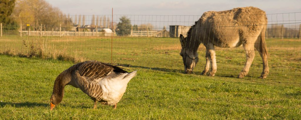 L'âne et l'oie au Bourg Joly
